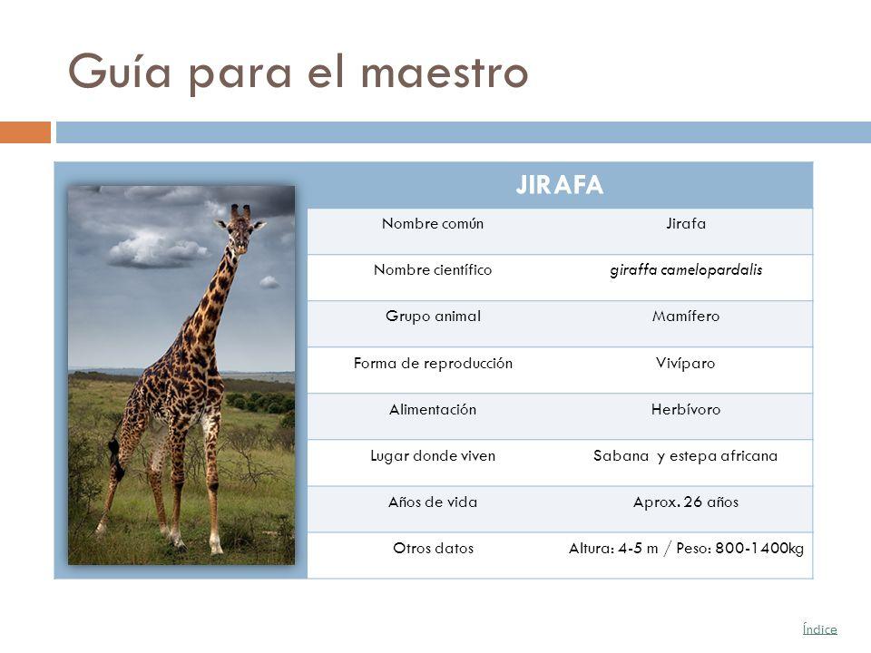 Guía para el maestro JIRAFA Nombre comúnJirafa Nombre científicogiraffa camelopardalis Grupo animalMamífero Forma de reproducciónVivíparo Alimentación