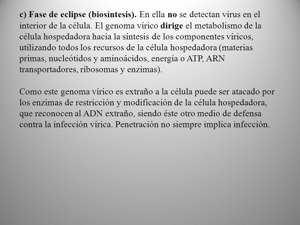 c) Fase de eclipse (biosíntesis).En ella no se detectan virus en el interior de la célula.