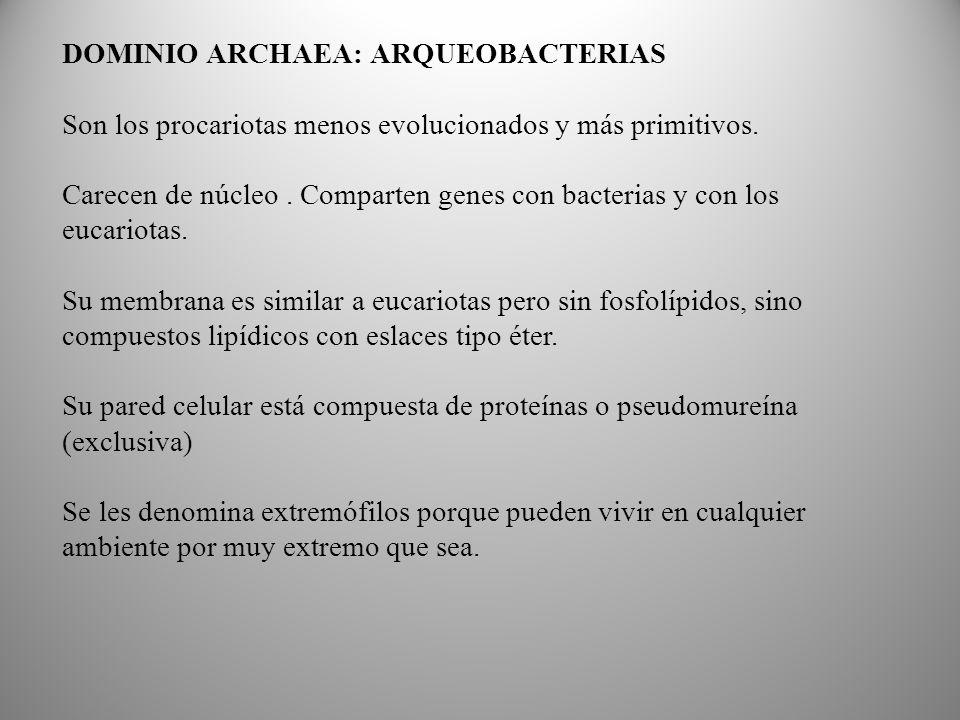 DOMINIO ARCHAEA: ARQUEOBACTERIAS Son los procariotas menos evolucionados y más primitivos.