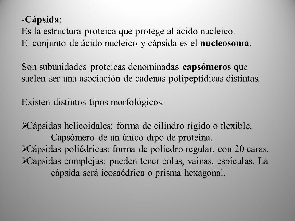 -Cápsida: Es la estructura proteica que protege al ácido nucleico.