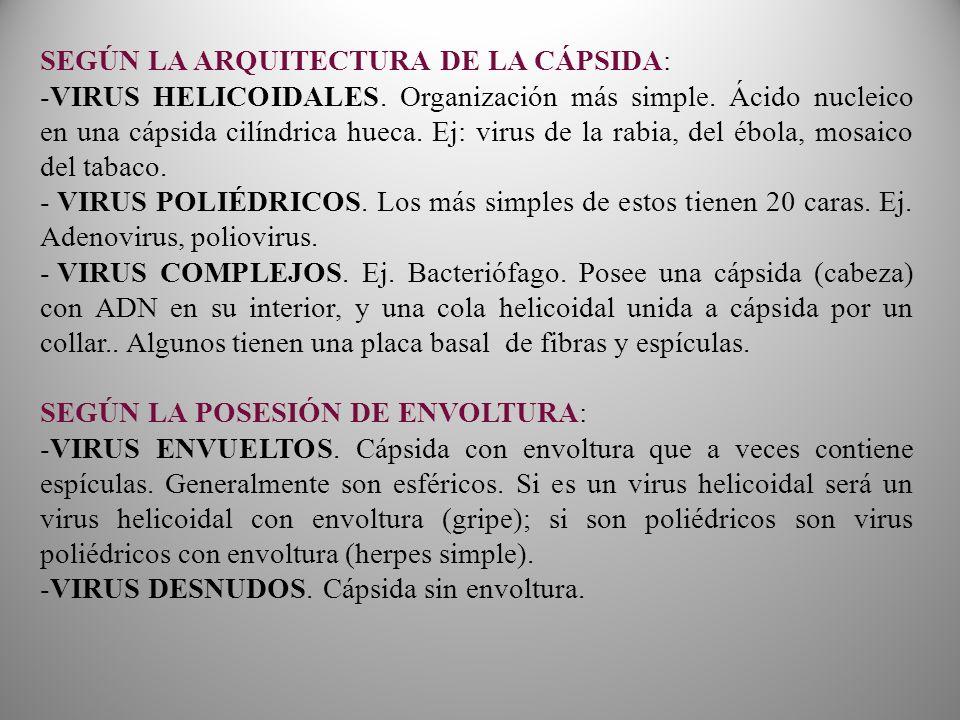 SEGÚN LA ARQUITECTURA DE LA CÁPSIDA: -VIRUS HELICOIDALES.