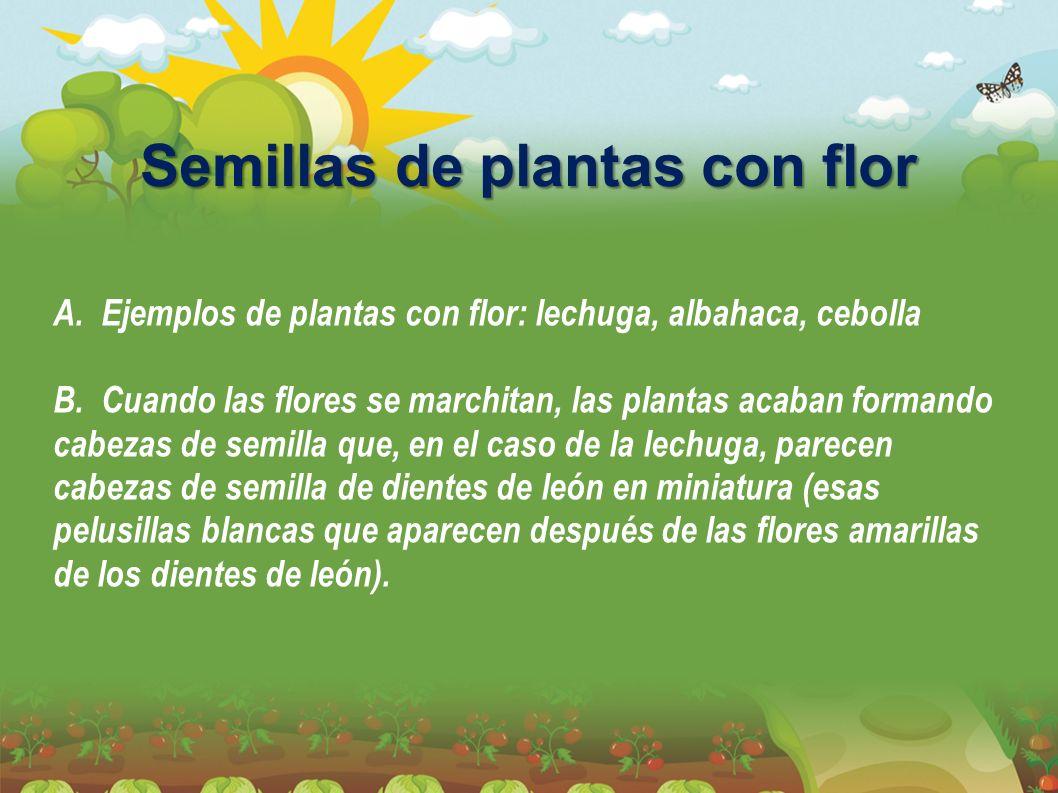 Semillas de plantas con flor A. Ejemplos de plantas con flor: lechuga, albahaca, cebolla B. Cuando las flores se marchitan, las plantas acaban formand