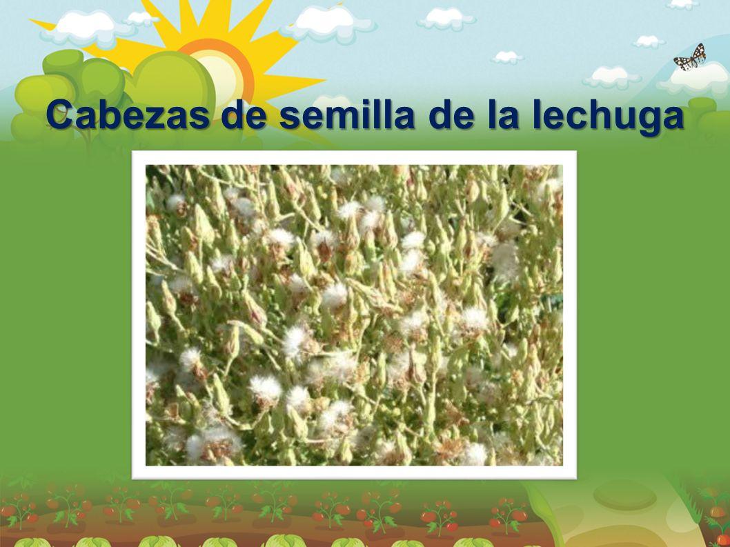 Cabezas de semilla de la lechuga
