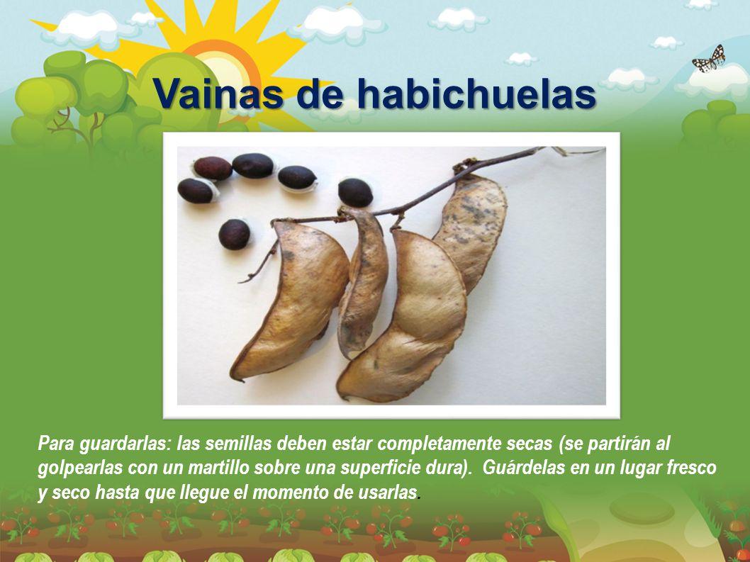 Vainas de habichuelas Para guardarlas: las semillas deben estar completamente secas (se partirán al golpearlas con un martillo sobre una superficie du