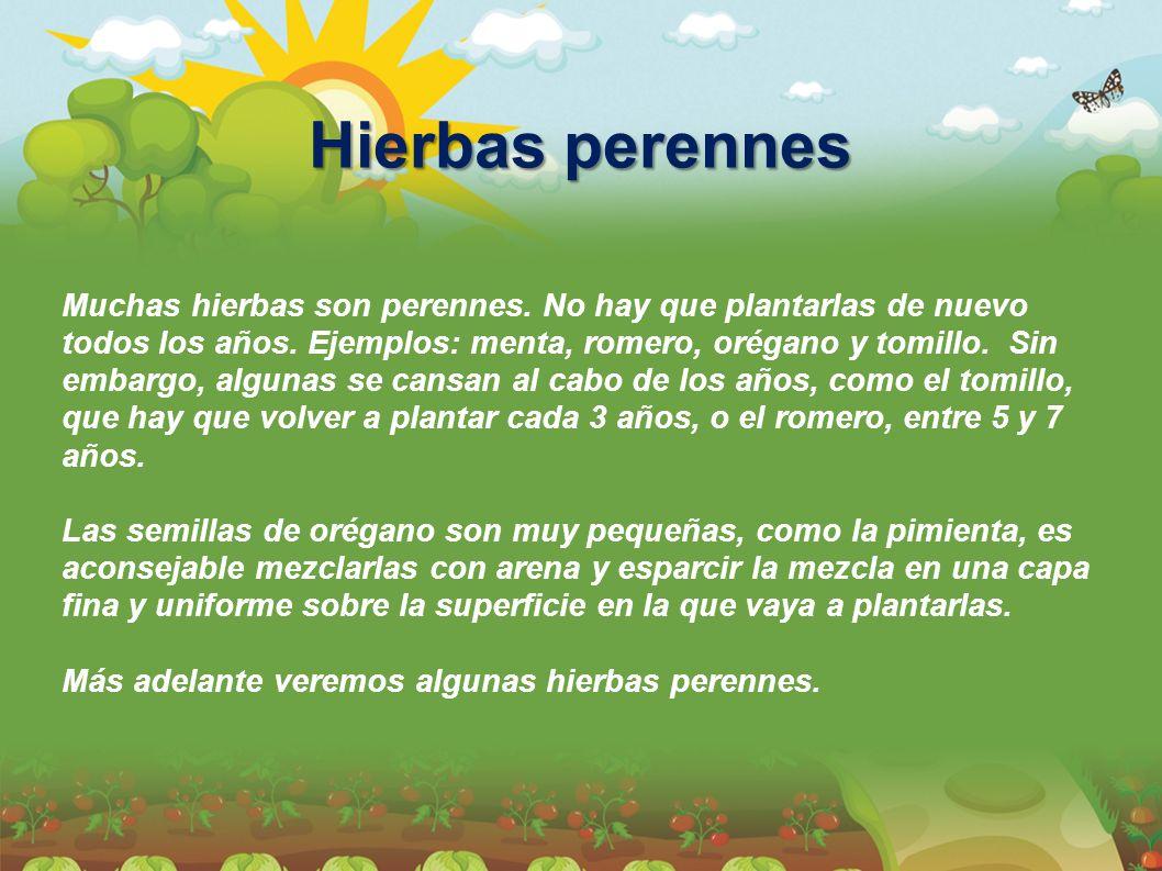 Hierbas perennes Muchas hierbas son perennes. No hay que plantarlas de nuevo todos los años. Ejemplos: menta, romero, orégano y tomillo. Sin embargo,