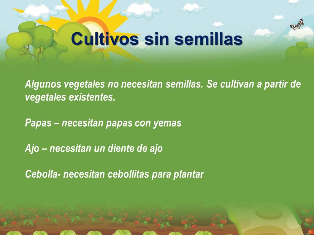 Cultivos sin semillas Algunos vegetales no necesitan semillas. Se cultivan a partir de vegetales existentes. Papas – necesitan papas con yemas Ajo – n