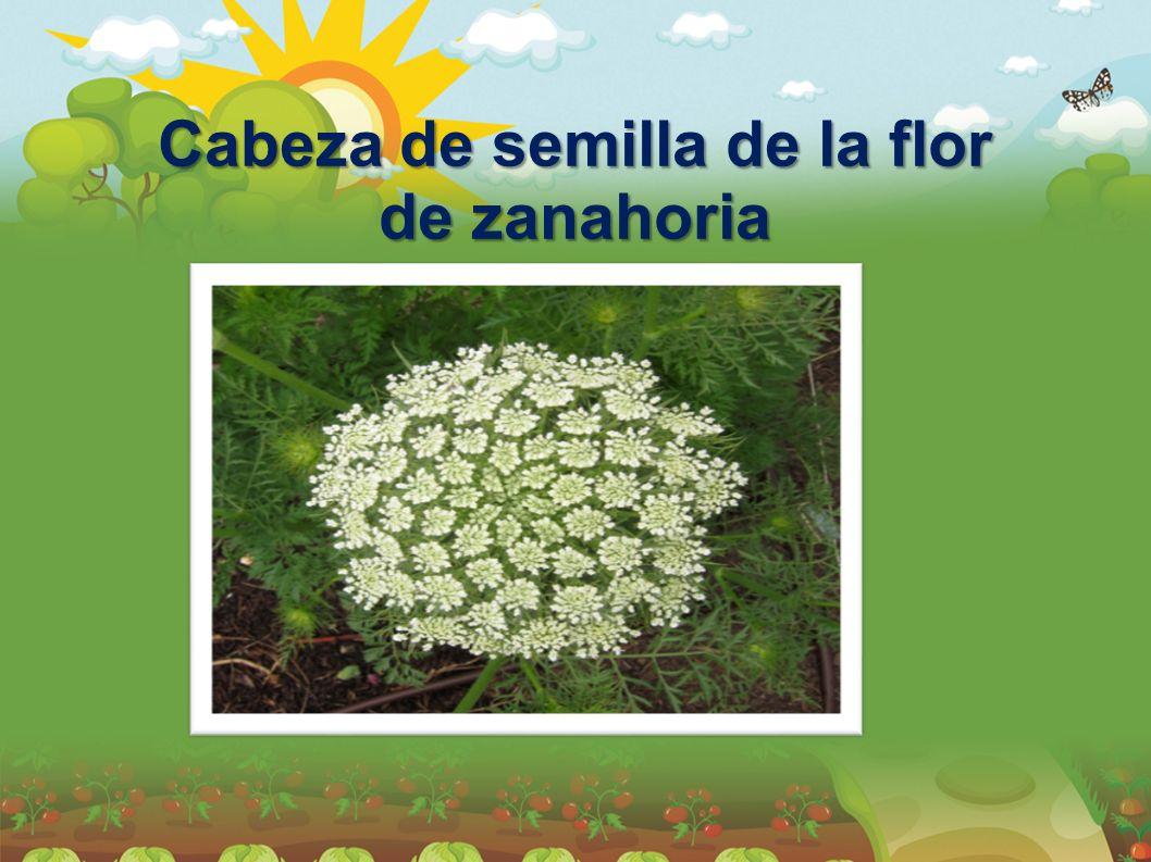 Cabeza de semilla de la flor de zanahoria