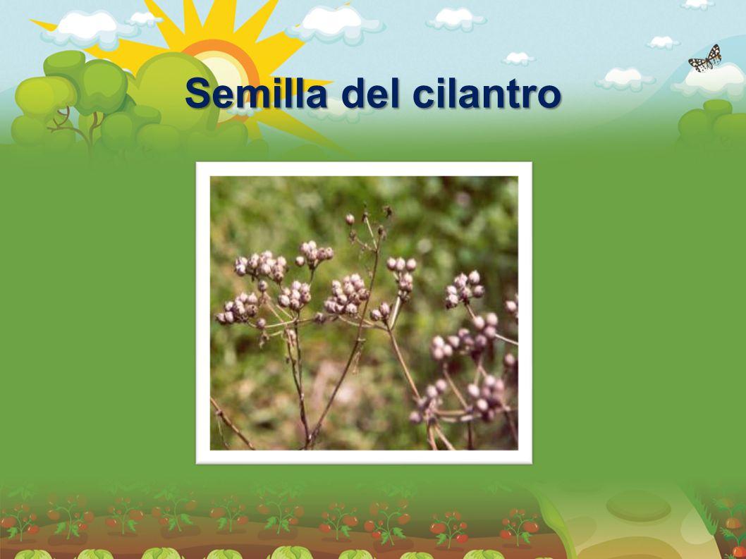 Semilla del cilantro