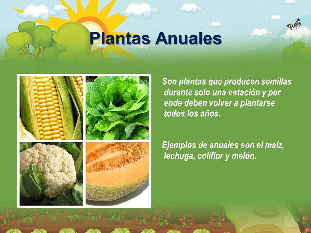 Plantas Anuales Son plantas que producen semillas durante solo una estación y por ende deben volver a plantarse todos los años. Ejemplos de anuales so