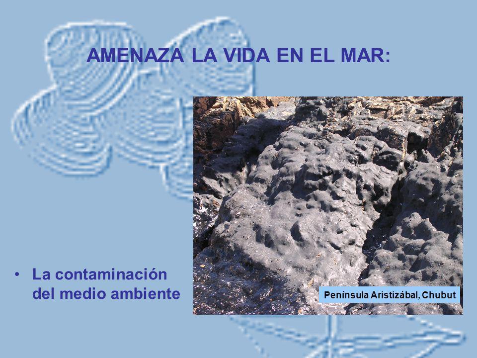 SUS EFECTOS SOBRE LOS ORGANISMOS MARINOS Cuando se hunde, afecta el intercambio gaseoso del sedimento, produciendo anoxia o hipoxia