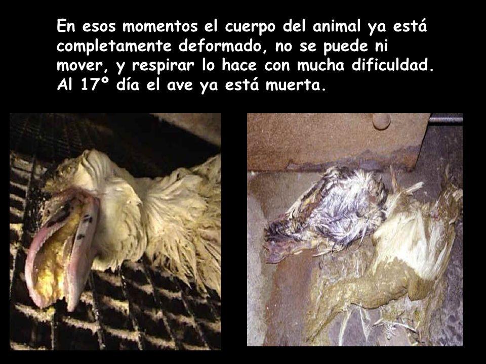 En esos momentos el cuerpo del animal ya está completamente deformado, no se puede ni mover, y respirar lo hace con mucha dificuldad. Al 17º día el av