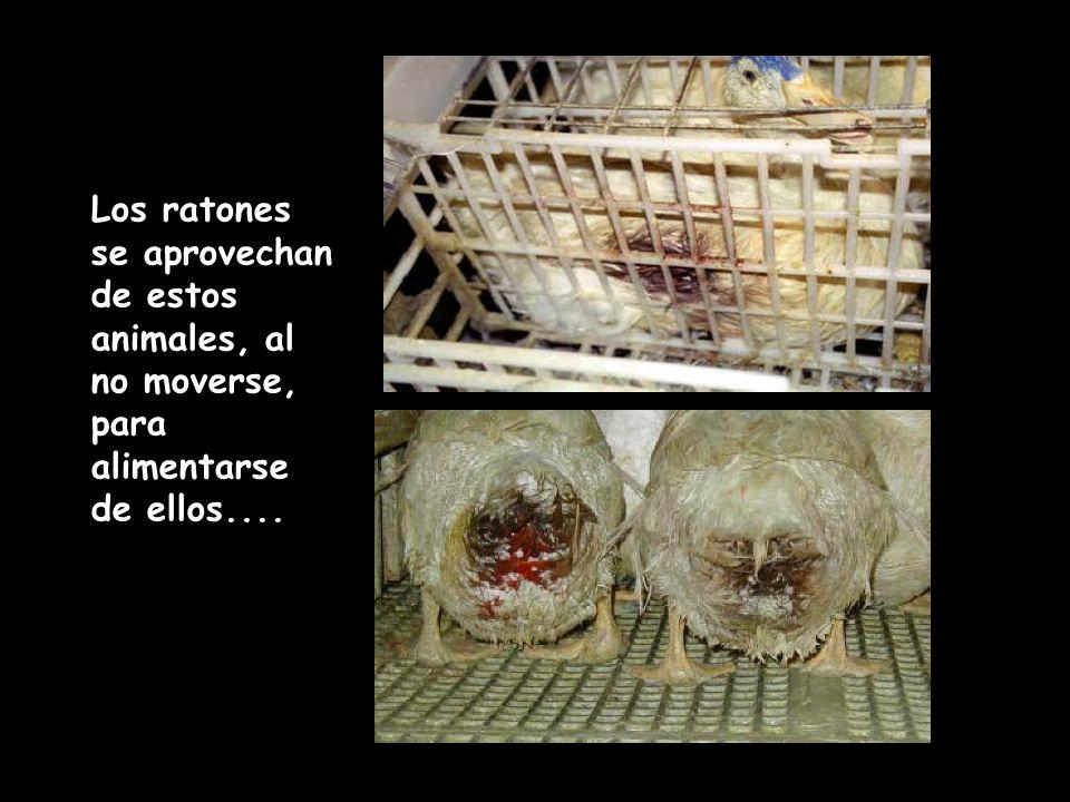 Los ratones se aprovechan de estos animales, al no moverse, para alimentarse de ellos....