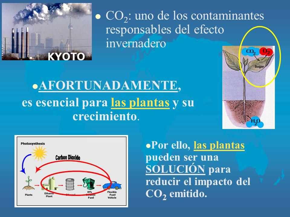 l CO 2 : uno de los contaminantes responsables del efecto invernadero l AFORTUNADAMENTE, es esencial para las plantas y su crecimiento.