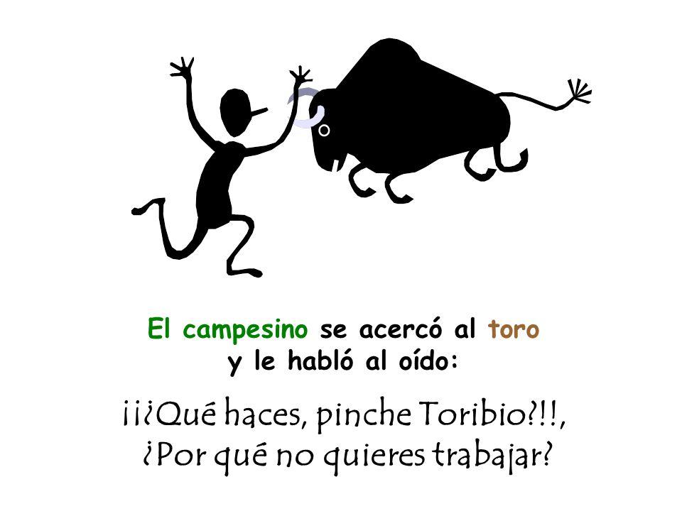 El campesino se acercó al toro y le habló al oído: ¡¡¿Qué haces, pinche Toribio !!, ¿Por qué no quieres trabajar