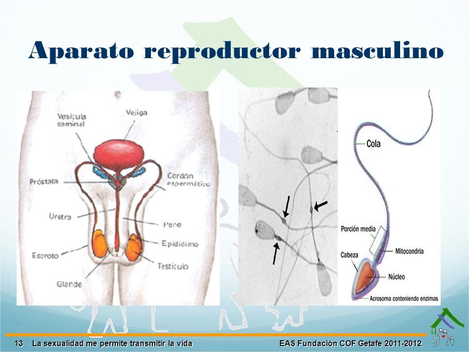 13 EAS Fundación COF Getafe 2011-2012 La sexualidad me permite transmitir la vida Aparato reproductor masculino