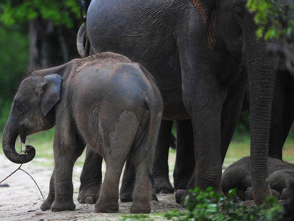Testigos de este espectáculo, los humanos estaban asombrados no sólo por la suprema inteligencia y la precisión exacta de que estos elefantes sintieron sobre el deceso de Lawrence, sino también por los recuerdos y emociones profundos que estos amados animales evocaron de forma tan organizada: Caminando lentamente - ¡durante días.