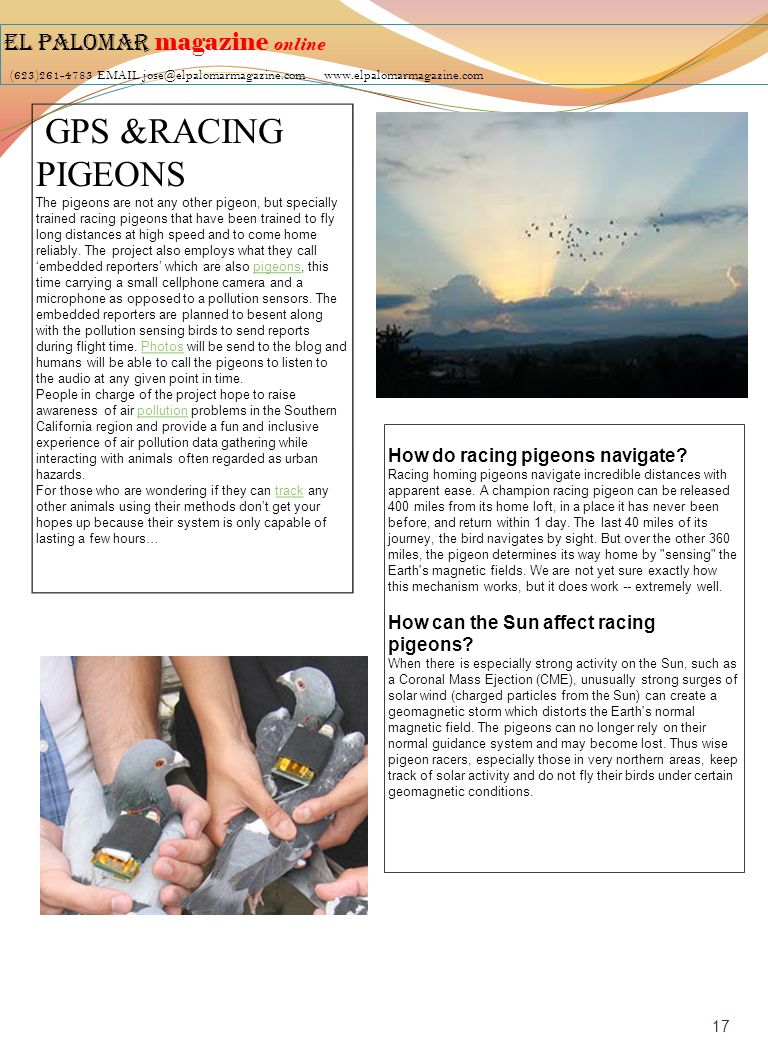 EL PALOMAR magazine online (623)261-4783 EMAIL jose@elpalomarmagazine.com www.elpalomarmagazine.com GPS &RACING PIGEONS The pigeons are not any other pigeon, but specially trained racing pigeons that have been trained to fly long distances at high speed and to come home reliably.