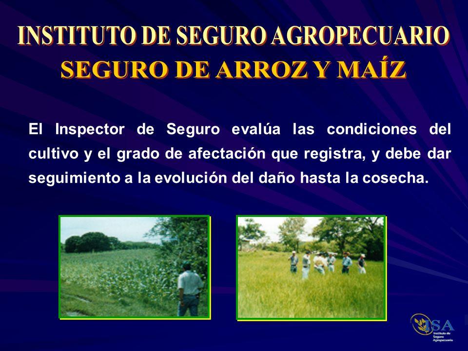 El Inspector de Seguro evalúa las condiciones del cultivo y el grado de afectación que registra, y debe dar seguimiento a la evolución del daño hasta