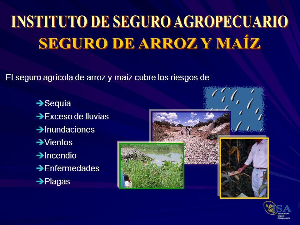 El seguro agrícola de arroz y maíz cubre los riesgos de: Sequía Exceso de lluvias Inundaciones Vientos Incendio Enfermedades Plagas