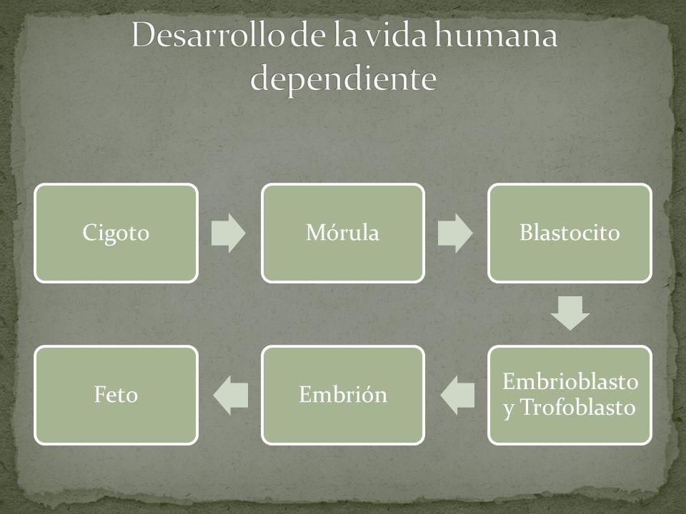 CigotoMórulaBlastocito Embrioblasto y Trofoblasto EmbriónFeto
