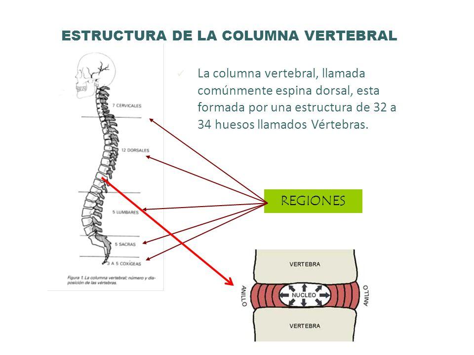 ESTRUCTURA DE LA COLUMNA VERTEBRAL La columna vertebral, llamada comúnmente espina dorsal, esta formada por una estructura de 32 a 34 huesos llamados