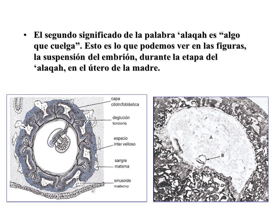 El tercer significado de la palabra alaqah es Coágulo de Sangre.