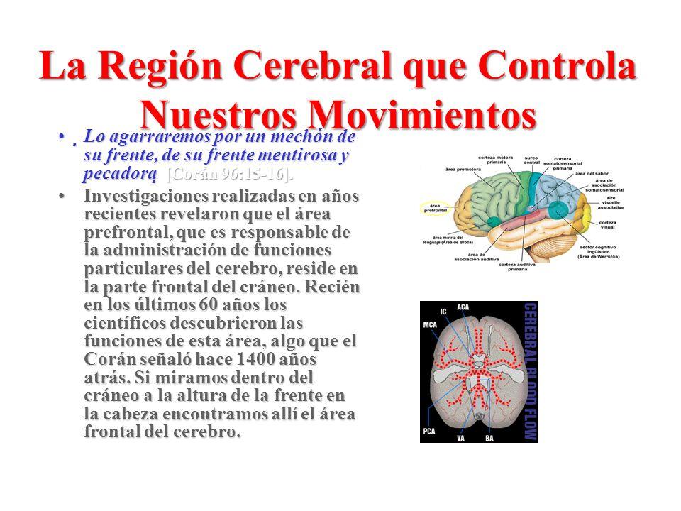 La Región Cerebral que Controla Nuestros Movimientos Lo agarraremos por un mechón de su frente, de su frente mentirosa y pecadora [Corán 96:15-16].