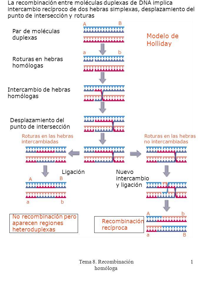 Tema 8. Recombinación homóloga 1 La recombinación entre moléculas duplexas de DNA implica intercambio recíproco de dos hebras simplexas, desplazamient