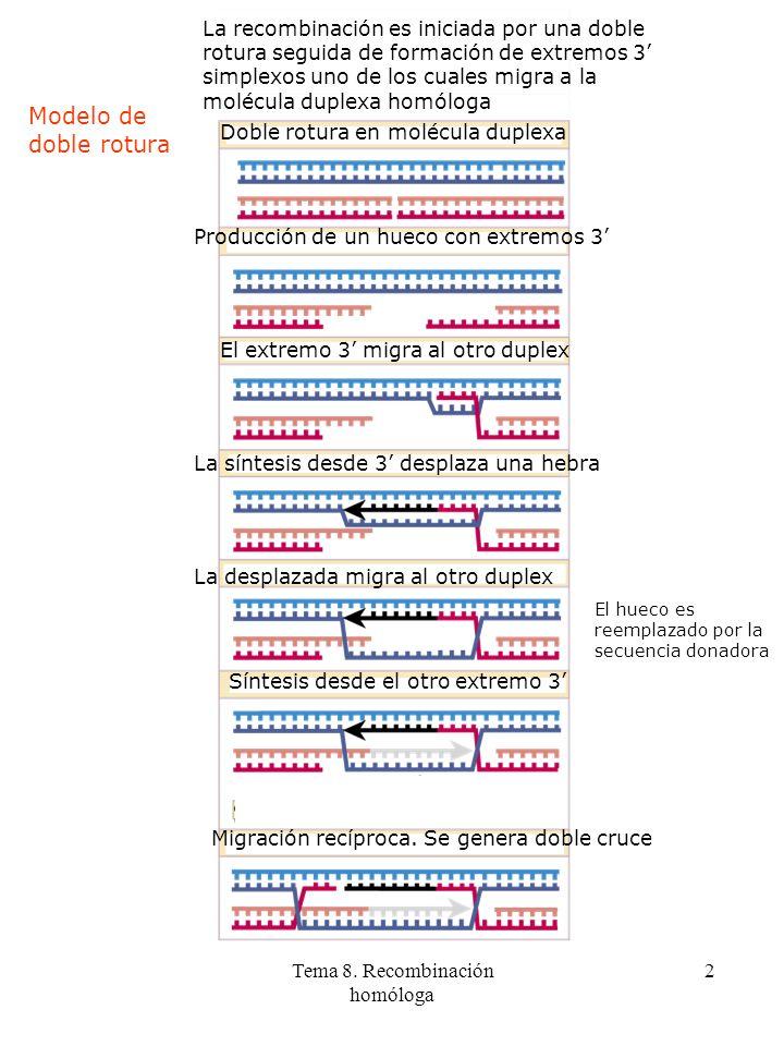 Tema 8. Recombinación homóloga 2 Modelo de doble rotura La recombinación es iniciada por una doble rotura seguida de formación de extremos 3 simplexos