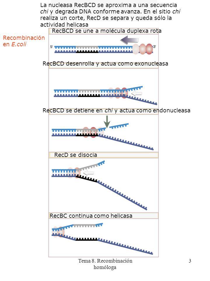 Tema 8. Recombinación homóloga 3 La nucleasa RecBCD se aproxima a una secuencia chi y degrada DNA conforme avanza. En el sitio chi realiza un corte, R