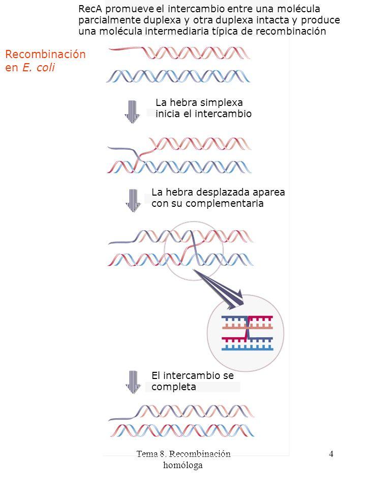 Tema 8. Recombinación homóloga 4 RecA promueve el intercambio entre una molécula parcialmente duplexa y otra duplexa intacta y produce una molécula in