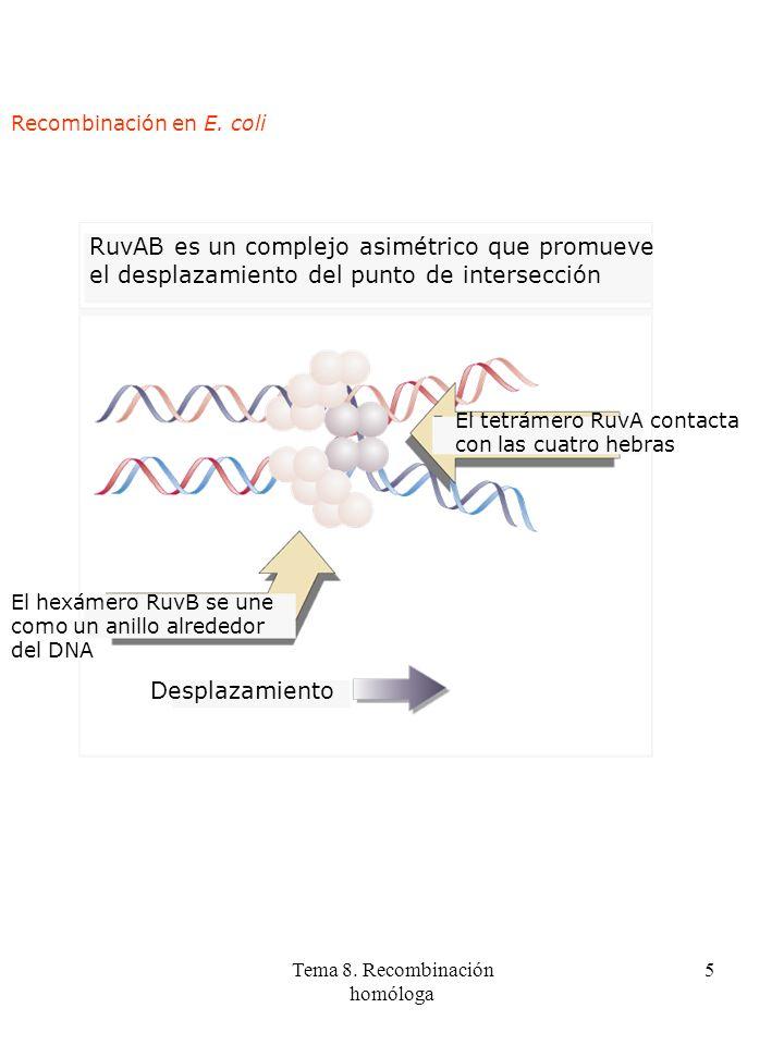 Tema 8. Recombinación homóloga 5 RuvAB es un complejo asimétrico que promueve el desplazamiento del punto de intersección El tetrámero RuvA contacta c