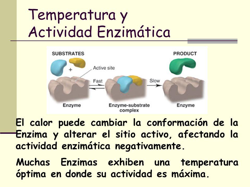 Temperatura y Actividad Enzimática El calor puede cambiar la conformación de la Enzima y alterar el sitio activo, afectando la actividad enzimática ne