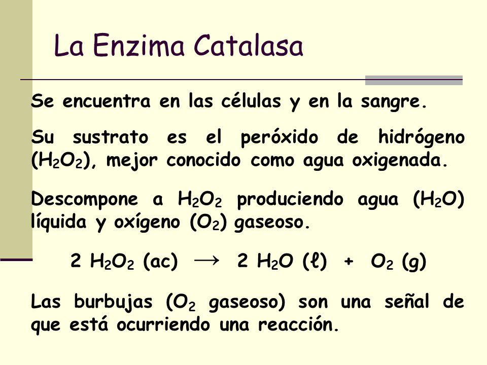 La Enzima Catalasa Descompone a H 2 O 2 produciendo agua (H 2 O) líquida y oxígeno (O 2 ) gaseoso. Las burbujas (O 2 gaseoso) son una señal de que est
