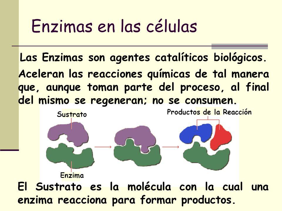 Enzimas en las células Las Enzimas son agentes catalíticos biológicos. Aceleran las reacciones químicas de tal manera que, aunque toman parte del proc