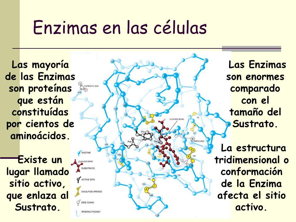Enzimas en las células Las mayoría de las Enzimas son proteínas que están constituídas por cientos de aminoácidos. Las Enzimas son enormes comparado c