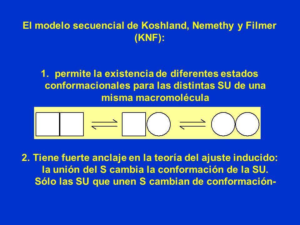 El modelo secuencial de Koshland, Nemethy y Filmer (KNF): 1. permite la existencia de diferentes estados conformacionales para las distintas SU de una