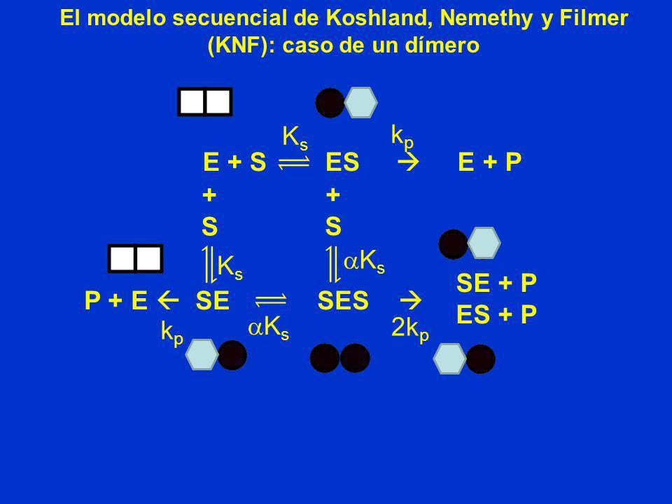 P + E SE SES El modelo secuencial de Koshland, Nemethy y Filmer (KNF): caso de un dímero E + S ES E + P kpkp KsKs +S+S kpkp K s +S+S KsKs SE + P ES +