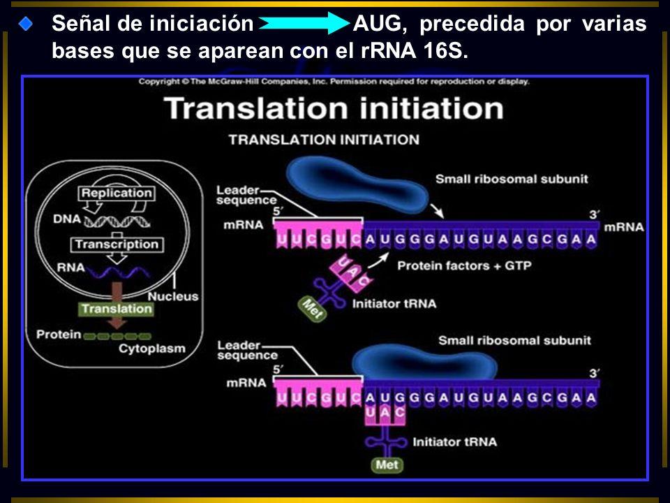 Señal de iniciaciónAUG, precedida por varias bases que se aparean con el rRNA 16S.