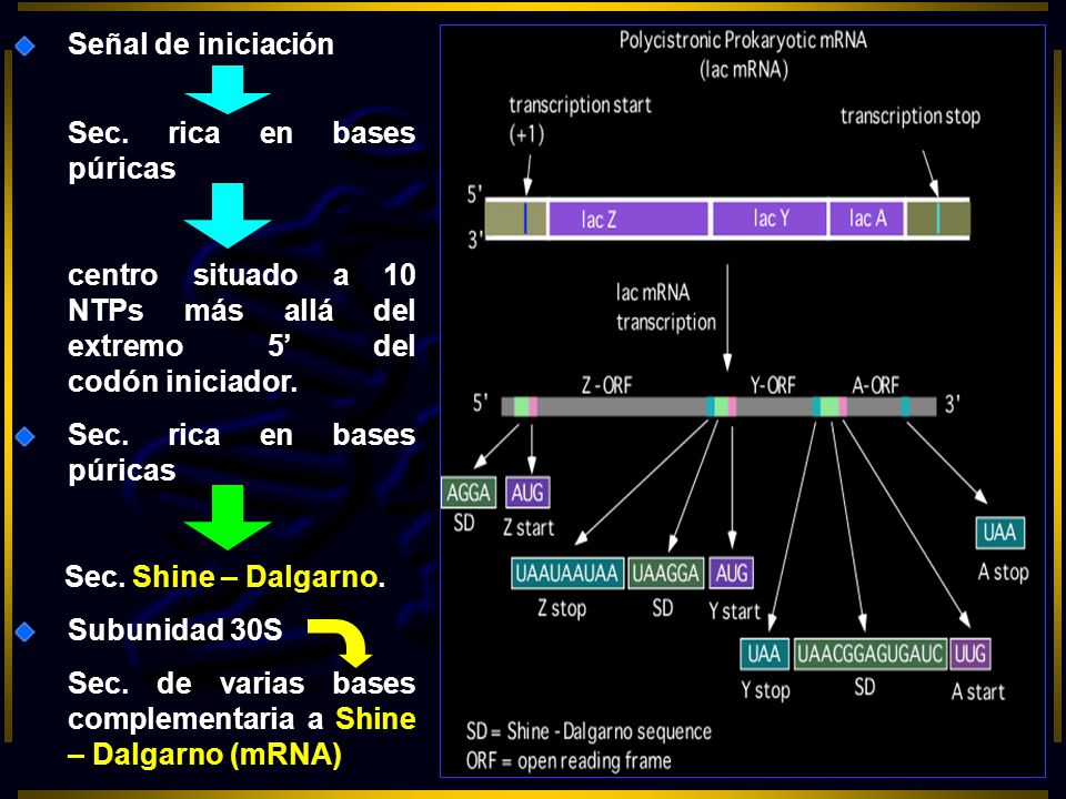 Señal de iniciación Sec. rica en bases púricas centro situado a 10 NTPs más allá del extremo 5 del codón iniciador. Sec. rica en bases púricas Sec. Sh