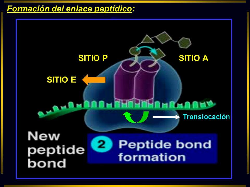 Formación del enlace peptídico: SITIO P SITIO E SITIO A Translocación