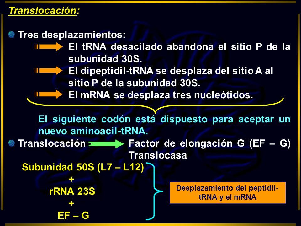 Translocación: Tres desplazamientos: El tRNA desacilado abandona el sitio P de la subunidad 30S. El dipeptidil-tRNA se desplaza del sitio A al sitio P
