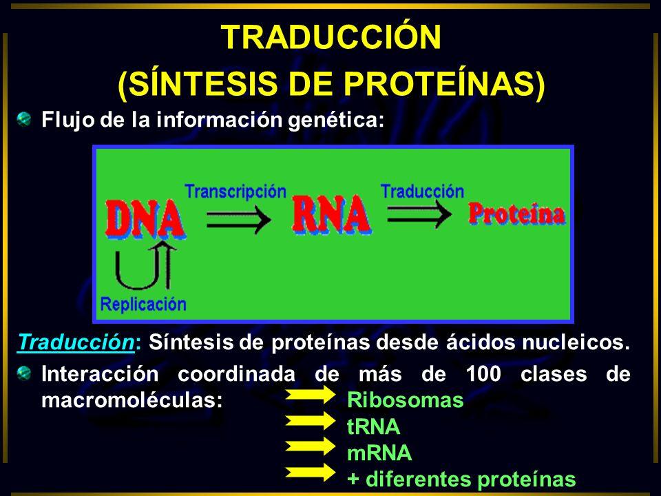 TRADUCCIÓN (SÍNTESIS DE PROTEÍNAS) Flujo de la información genética: Traducción:Síntesis de proteínas desde ácidos nucleicos. Interacción coordinada d