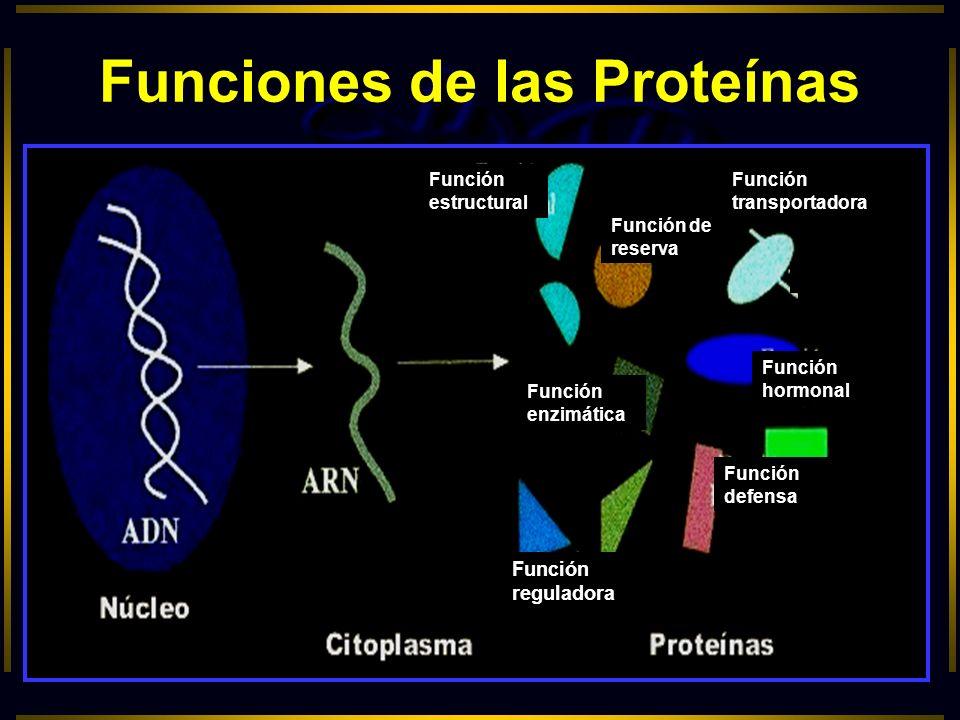 Funciones de las Proteínas Función estructural Función de reserva Función transportadora Función enzimática Función hormonal Función defensa Función r
