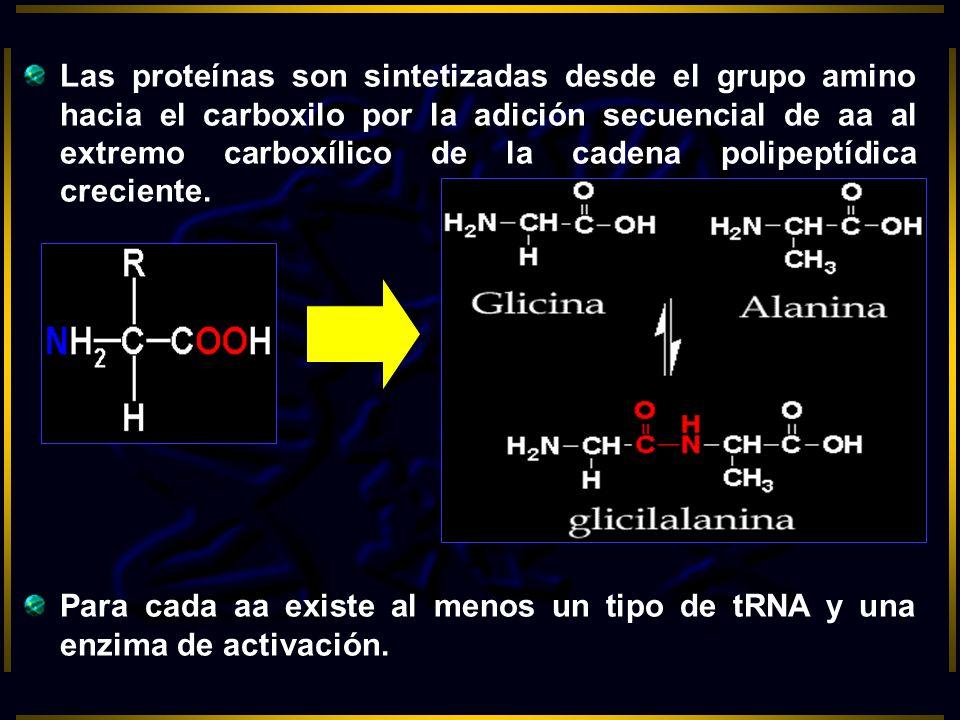 Las proteínas son sintetizadas desde el grupo amino hacia el carboxilo por la adición secuencial de aa al extremo carboxílico de la cadena polipeptídi
