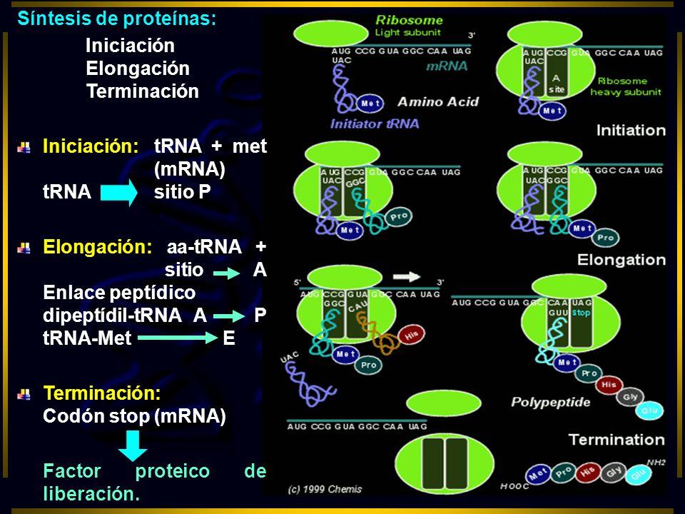 Síntesis de proteínas: Iniciación Elongación Terminación Iniciación: tRNA + met (mRNA) tRNAsitio P Elongación: aa-tRNA + sitio A Enlace peptídico dipe