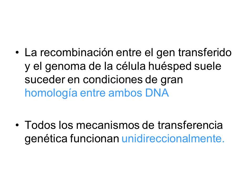 La recombinación entre el gen transferido y el genoma de la célula huésped suele suceder en condiciones de gran homología entre ambos DNA Todos los me