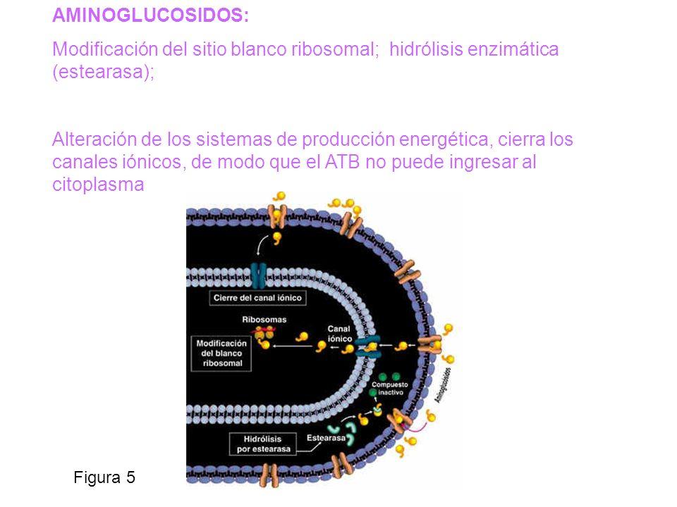 Figura 5 AMINOGLUCOSIDOS: Modificación del sitio blanco ribosomal; hidrólisis enzimática (estearasa); Alteración de los sistemas de producción energét