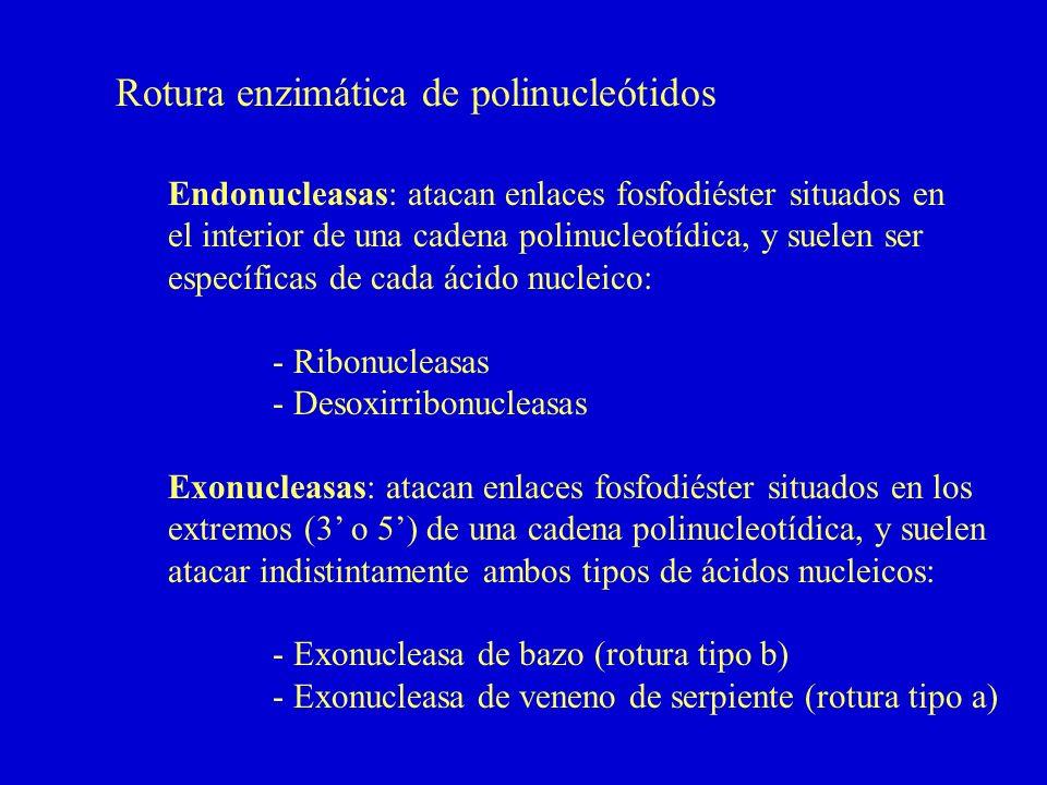 Rotura enzimática de polinucleótidos Endonucleasas: atacan enlaces fosfodiéster situados en el interior de una cadena polinucleotídica, y suelen ser específicas de cada ácido nucleico: - Ribonucleasas - Desoxirribonucleasas Exonucleasas: atacan enlaces fosfodiéster situados en los extremos (3 o 5) de una cadena polinucleotídica, y suelen atacar indistintamente ambos tipos de ácidos nucleicos: - Exonucleasa de bazo (rotura tipo b) - Exonucleasa de veneno de serpiente (rotura tipo a)