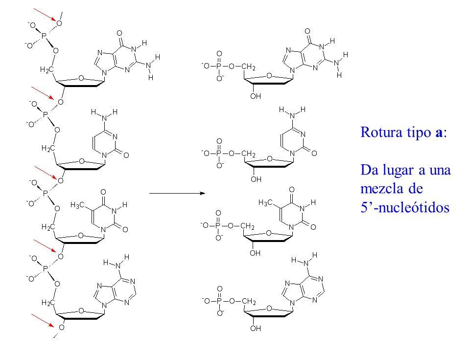 Rotura tipo a: Da lugar a una mezcla de 5-nucleótidos